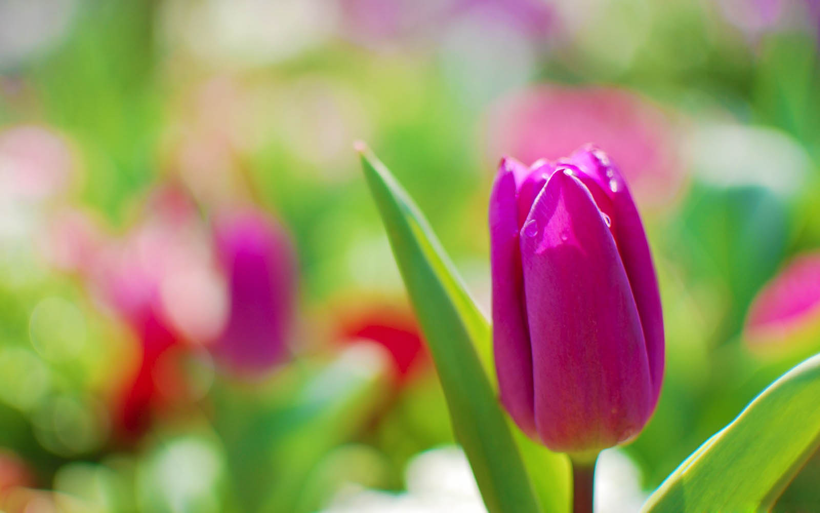 Wallpapers purple tulips flowers wallpapers for Bouquet de fleurs nature