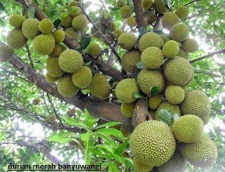 pohon durian merah banyuwangi