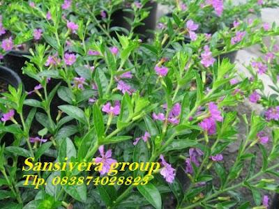 bunga-taiwan