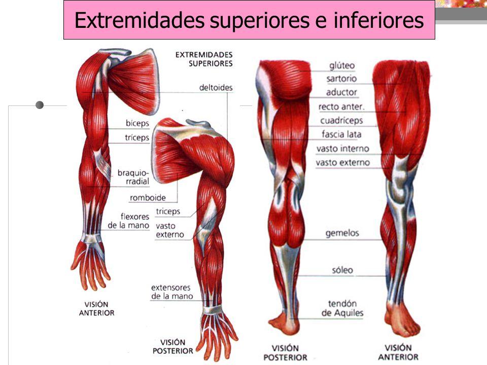 Hermosa Los Músculos De La Anatomía De Las Extremidades Superiores ...