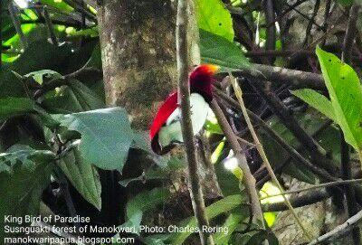 King Bird of Paradise (Cicinnurus regius) in Arfak mountains of Manokwari