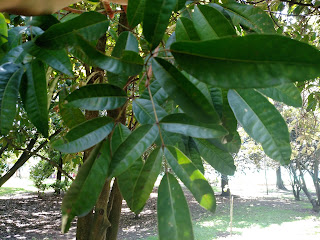 Manguito – mauria puberula colombia andes tree arbol leaves bark