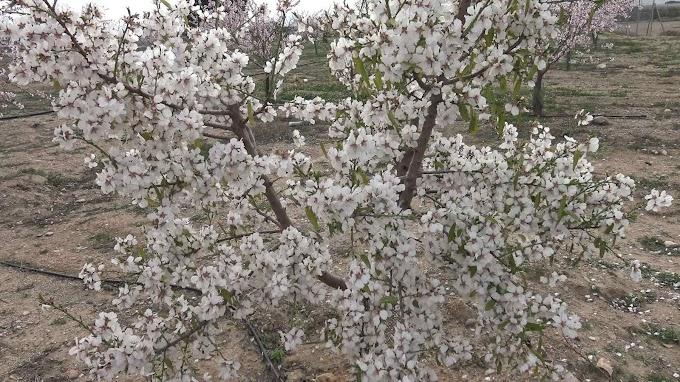 Prunus Dulcis Var. Garrigues