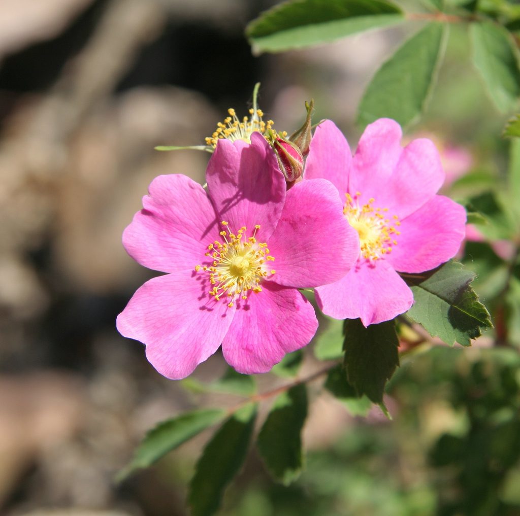 Wwe Wrestlers Profile: Iowa State Flower Wild Prairie Rose ...