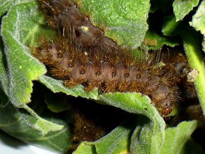 Metarctia lateritia caterpillar