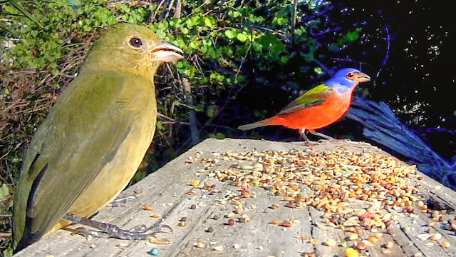 Painted Buntings Arrive in Florida For Winter 2017