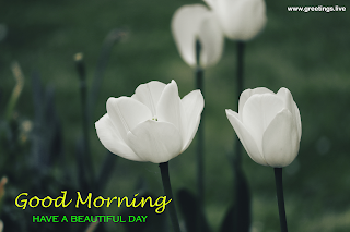 Good morning have a beautiful day greetings beautiful white tulips flowers images.