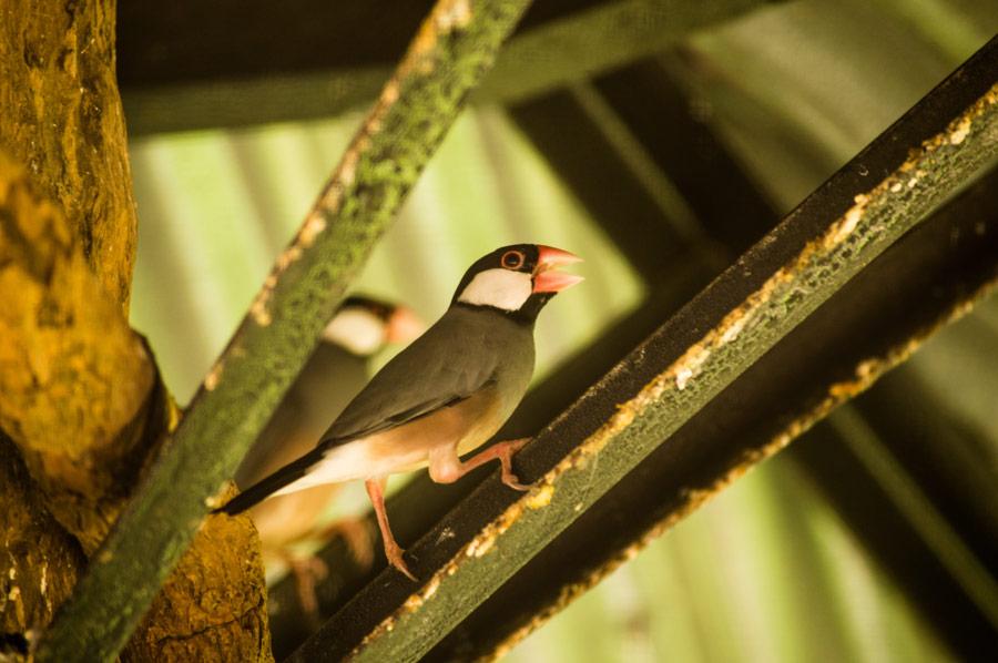 Java Finch Botolan Wildlife