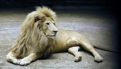 Singa Prasejarah Raksasa Ternyata Setinggi Manusia