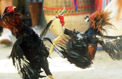 Agen Judi Sabung Ayam Filipina