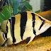 Jenis-Jenis Ikan Datnoid / Tigerfish / Datz