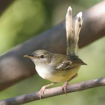 Cara Melatih Dan Memaster Burung Ciblek Supaya Gacor