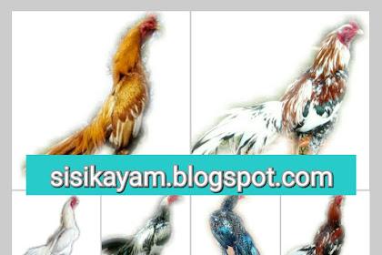 11 Ciri Khas Warna Bulu Ayam Petarung Terpopuler