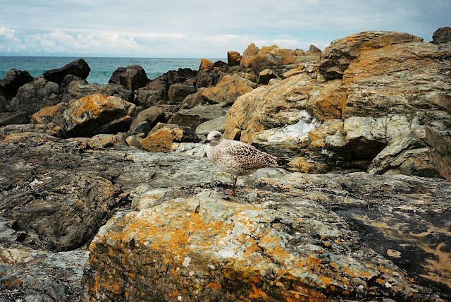 Teen Gull Porthgwidden beach St Ives Cornwall