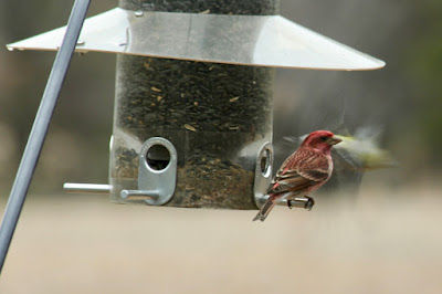 purple finches pass through