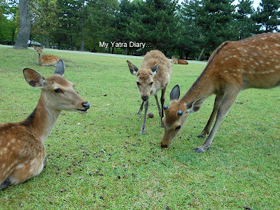 Deers roaming around in Nara Park, Japan