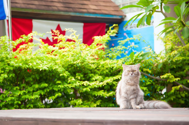 A fluffy cat sits on a table outside near a Canadian flag