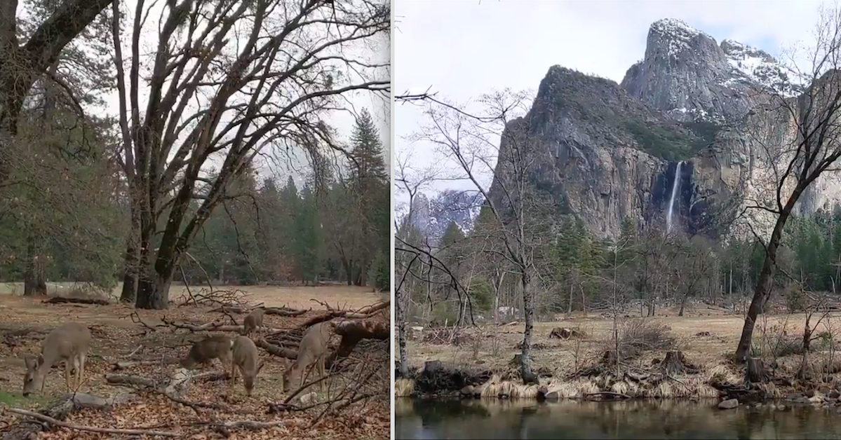 Yosemite National Park Closes Due To Coronavirus Lockdown And Animals Roam Free Amazing Footage