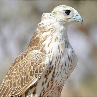 الصقر الحر - طير حر نادر