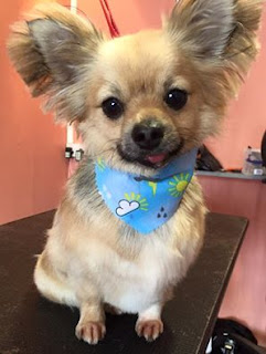 tamworth dog groomers gizmo pampered by alana