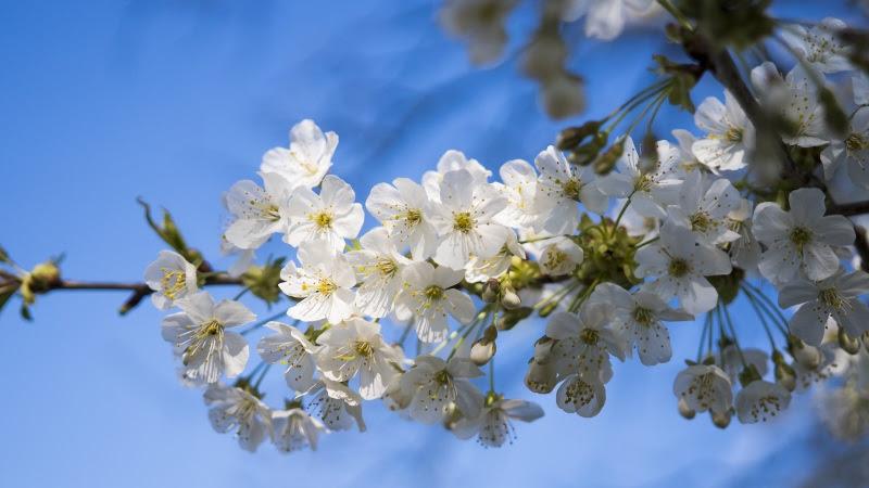 2 Cherry Blossoms