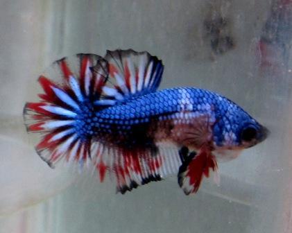Ikan Cupang Fancy Cooper