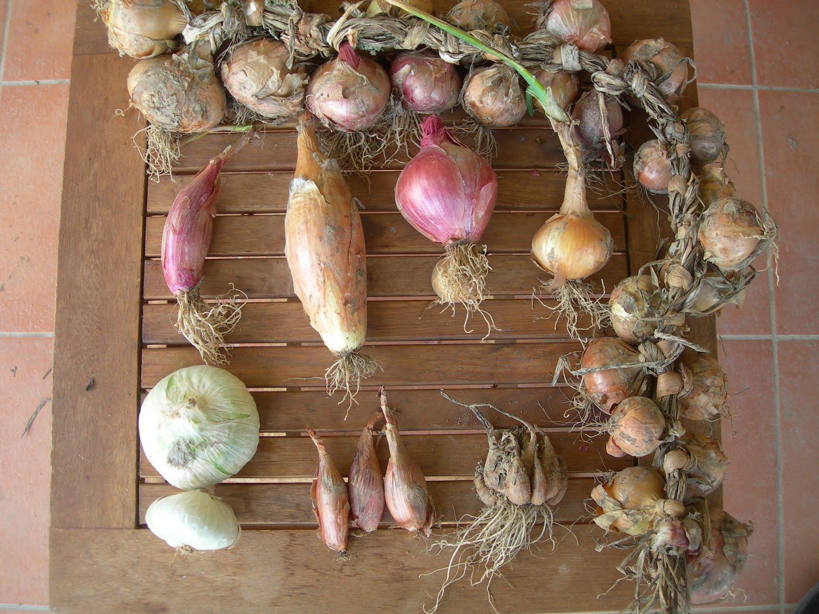 Un jardin potager dans le Midi: Récolte des oignons et ...