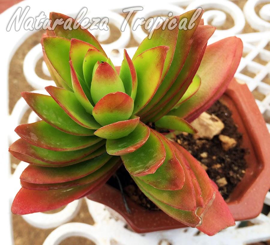 Consejos de cultivo de las plantas suculentas del género Crassula