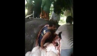 Dokter masuk ke dalam perut gajah