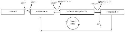 Jalur pentosa fosfat (HMS)