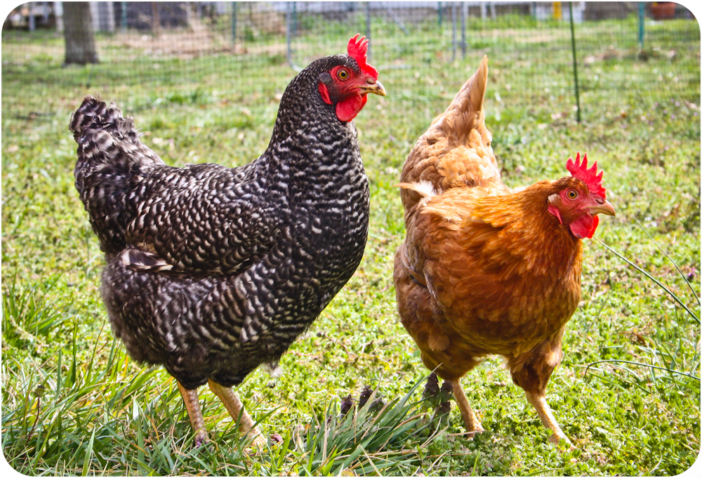 spring chickens 8