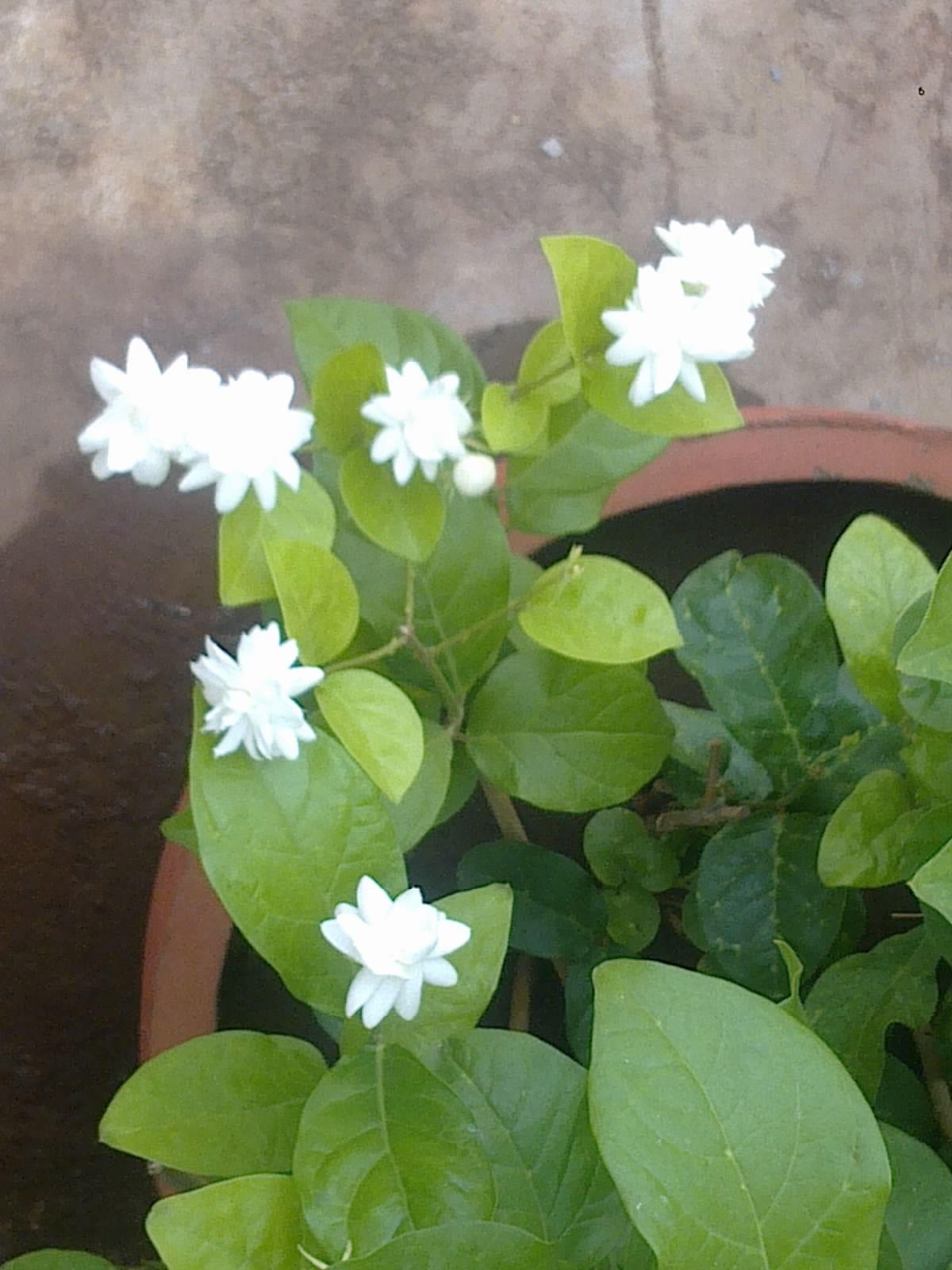 Jasmine S Terrace Cartoon: Plants Growing In My Potted Garden.: Arabian Jasmine Blooms