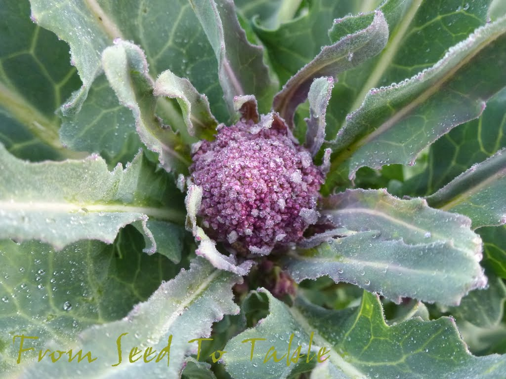 From Seed To Table: Purple Sprouting Broccoli