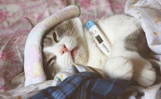 gatos-enfermedades-alergia-diarreas-vómitos