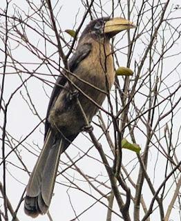 Austen's brown hornbill - Anorrhinus austeni