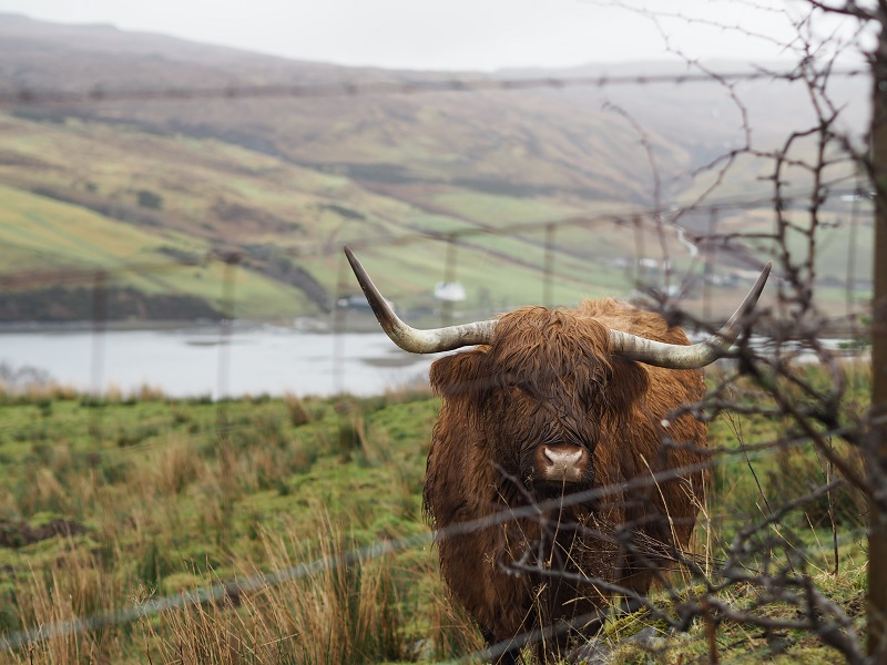 Highland Cow at Carbost, Skye
