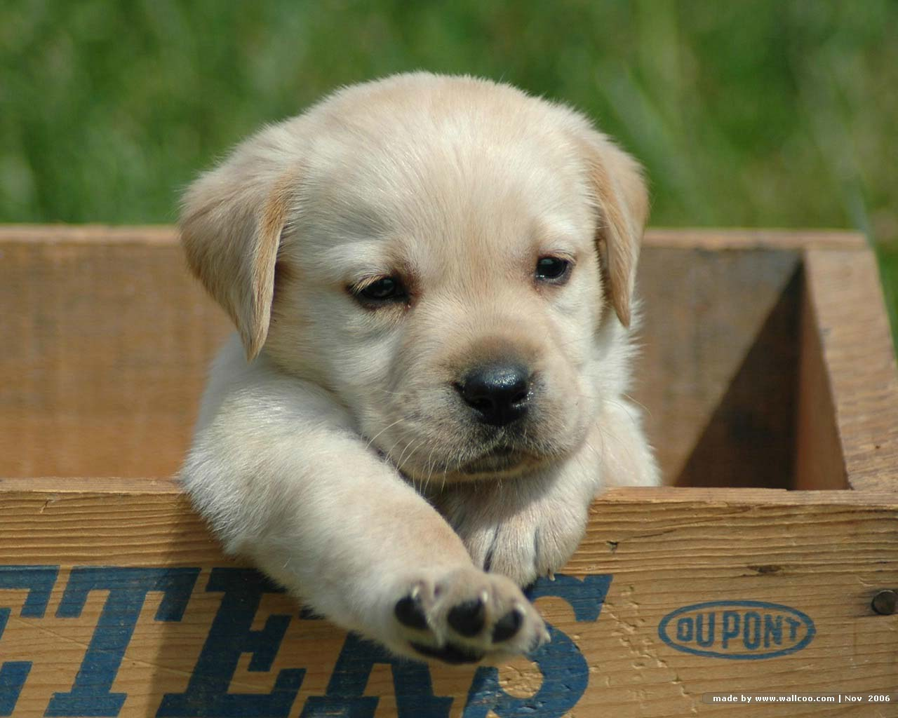 Puppy World: Cute Black Lab Puppy Pictures