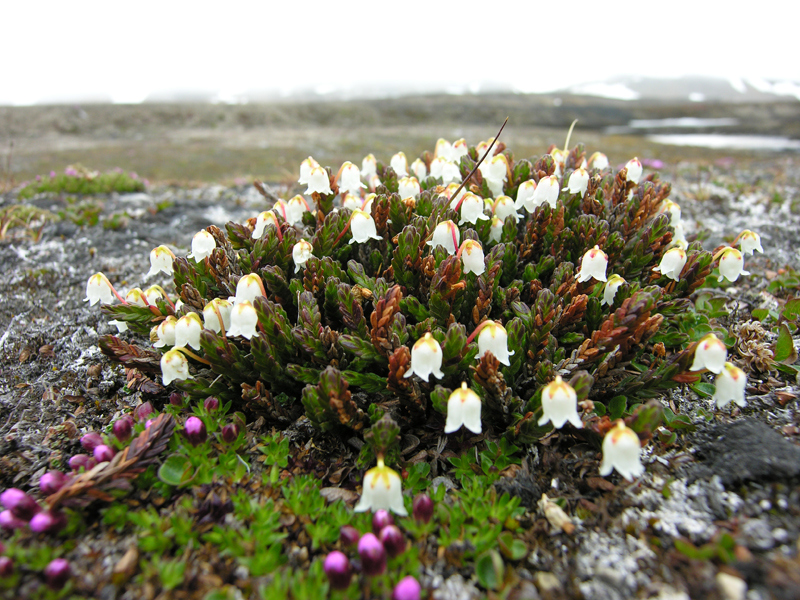 plants in the tundra biome