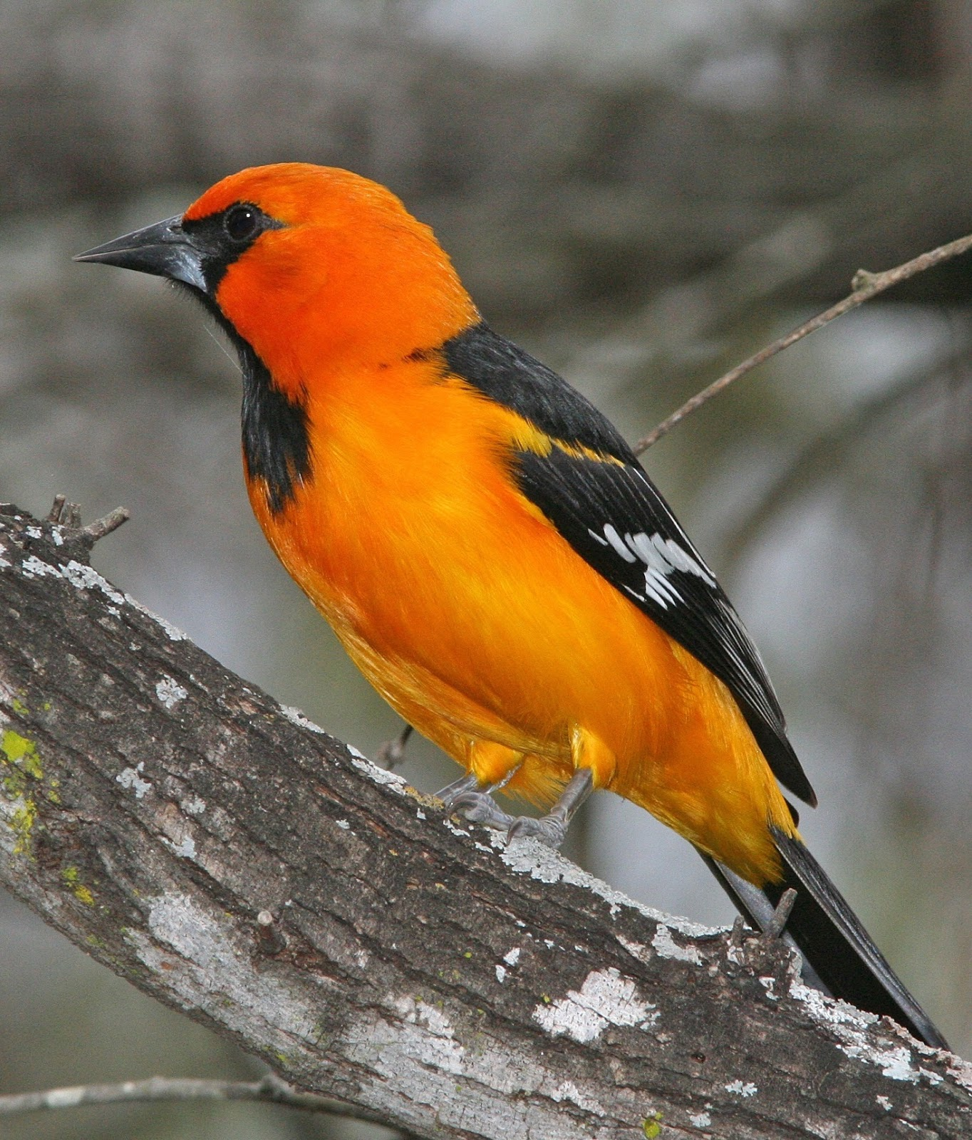 Picture of a oriole bird.