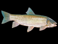 Grass Carp Fish Pictures