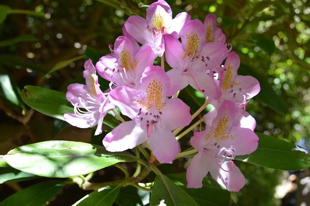 Rododendron på nært hold