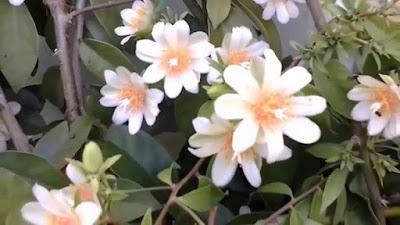Ora-pro-nobis mil usos dessa planta