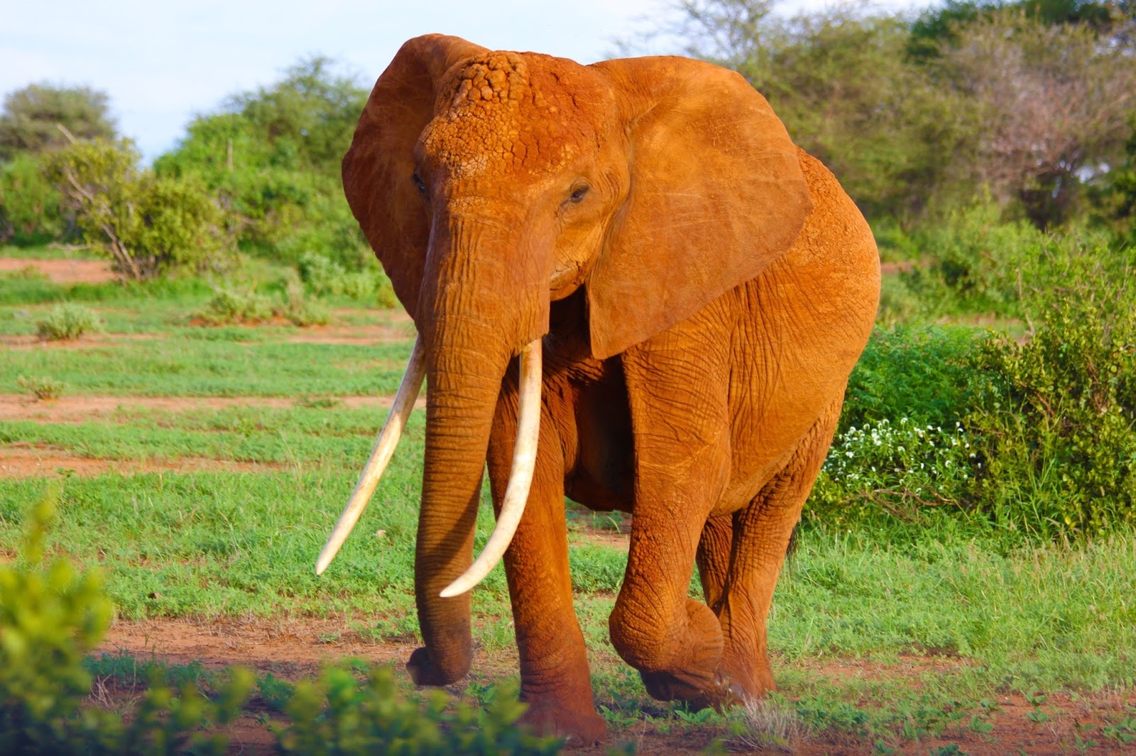 An elephant with it's long tusks.