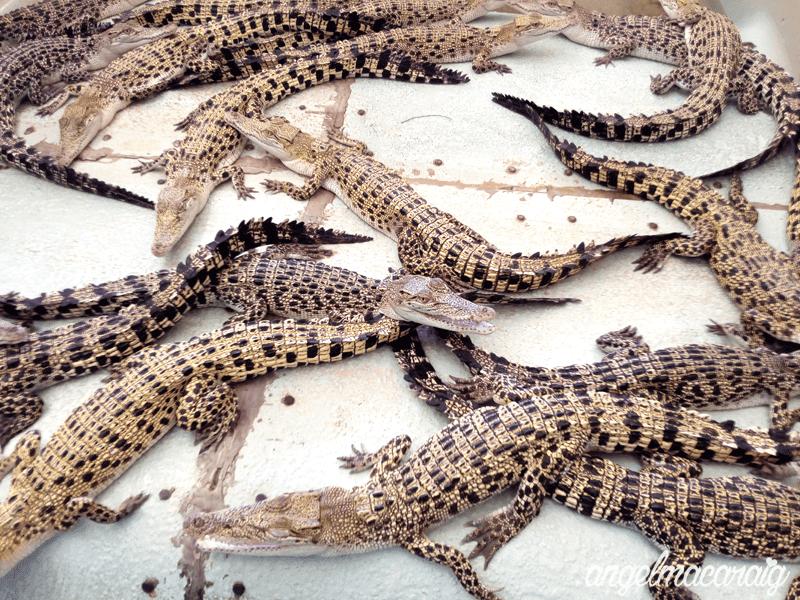 Baby Crocodiles