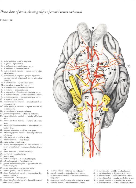 cerebro-cerebelo-anatomy-head-horse-equine-cavalo-egua-anatomia-