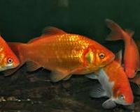 Jenis Ikan Koki Common cantik dan indah