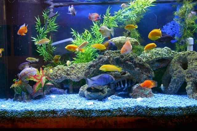 Dekorasi Aquarium Air Tawar Sederhana