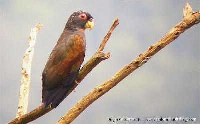 Lorito alibronceado: Pionus chalcopterus