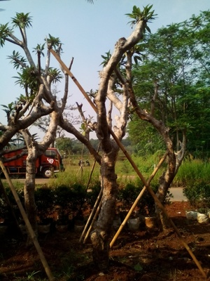 http://tukangtamankaryaalam.blogspot.com/2016/02/pohon-kamboja-fosil-jual-pohon-kamboja.html