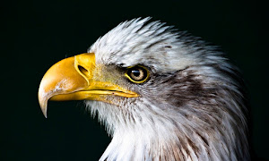 Bird Animal United States Of America Bald Eagle